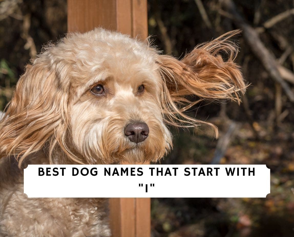 Dog Names That Start With I