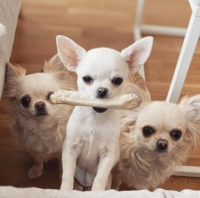 Don't Reward Bad Behavior For Your Chihuahua