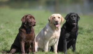 Endeavor Labradors
