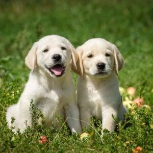 Excalibur Labradors