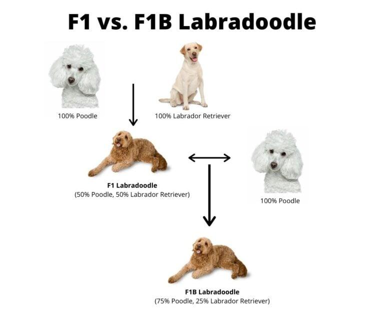 F1 vs F1B Labradoodle