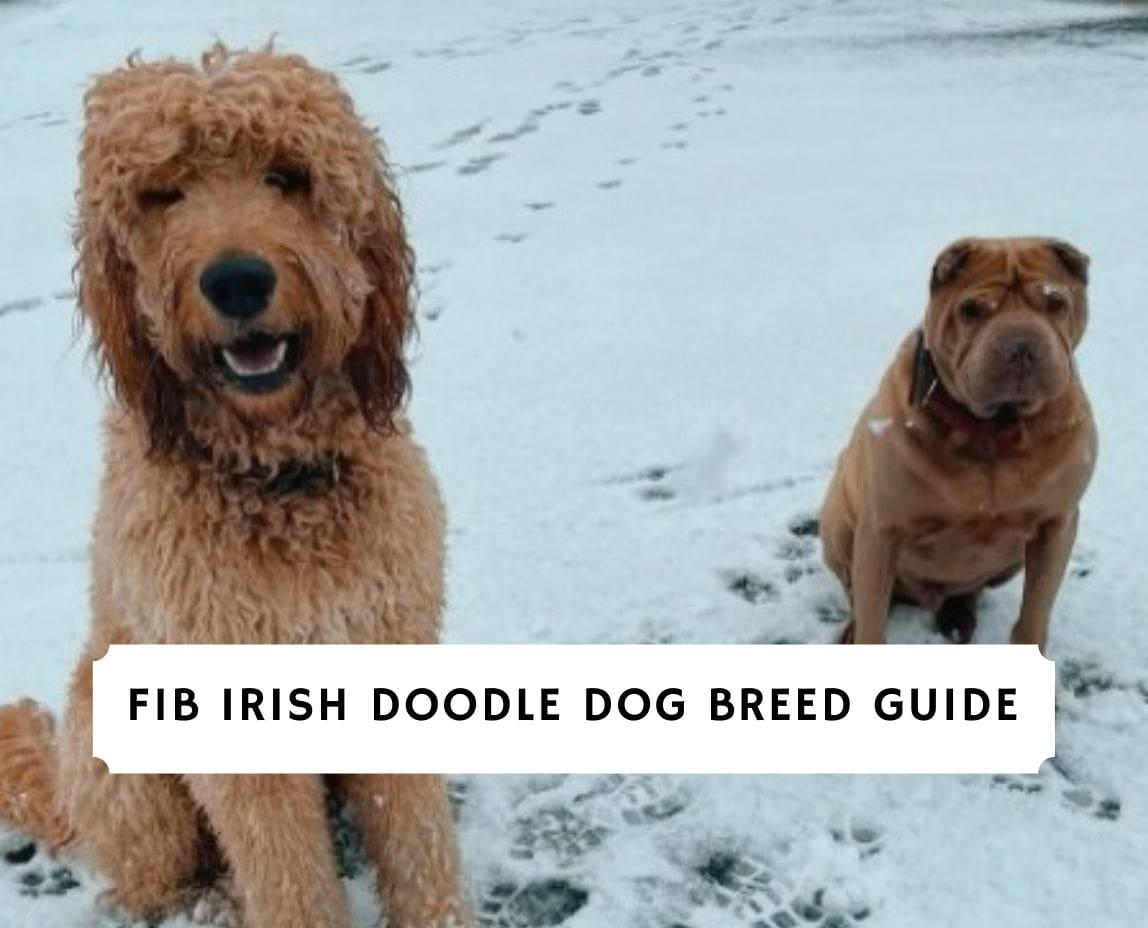 F1B Irish Doodle