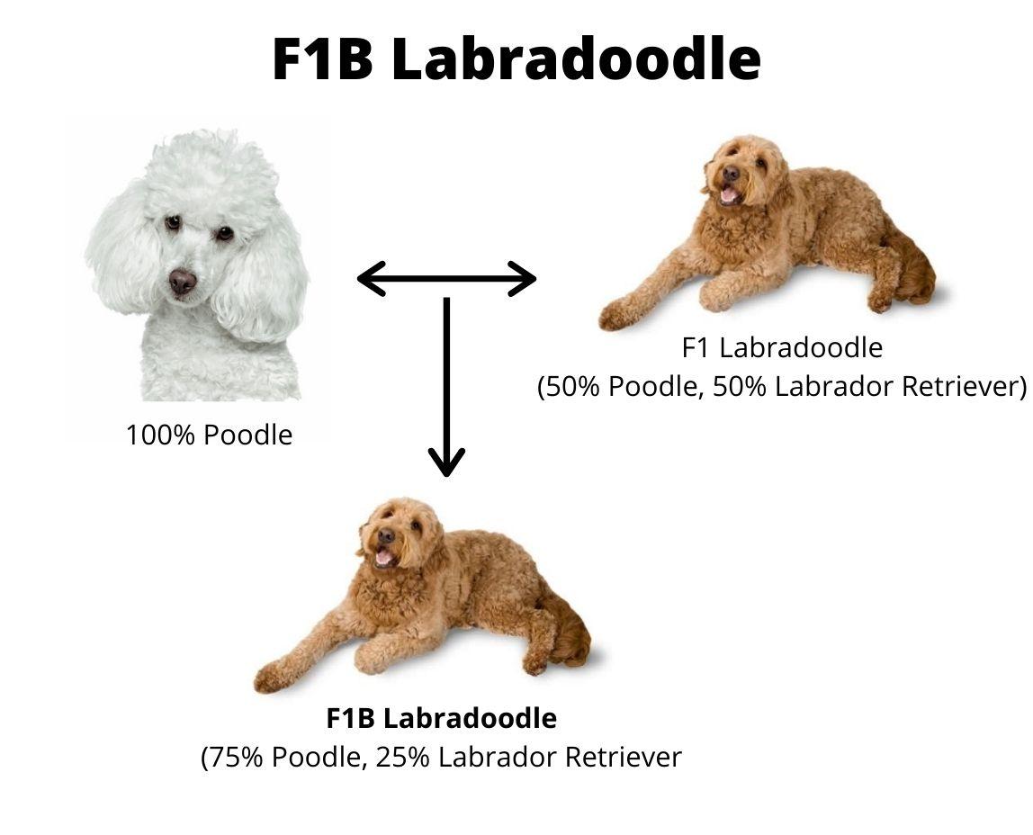 F1B Labradoodle