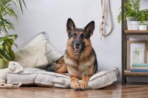 Factors to Consider Before Purchasing a German Shepherd
