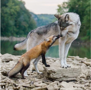 Foxes and Dogs to Get Along