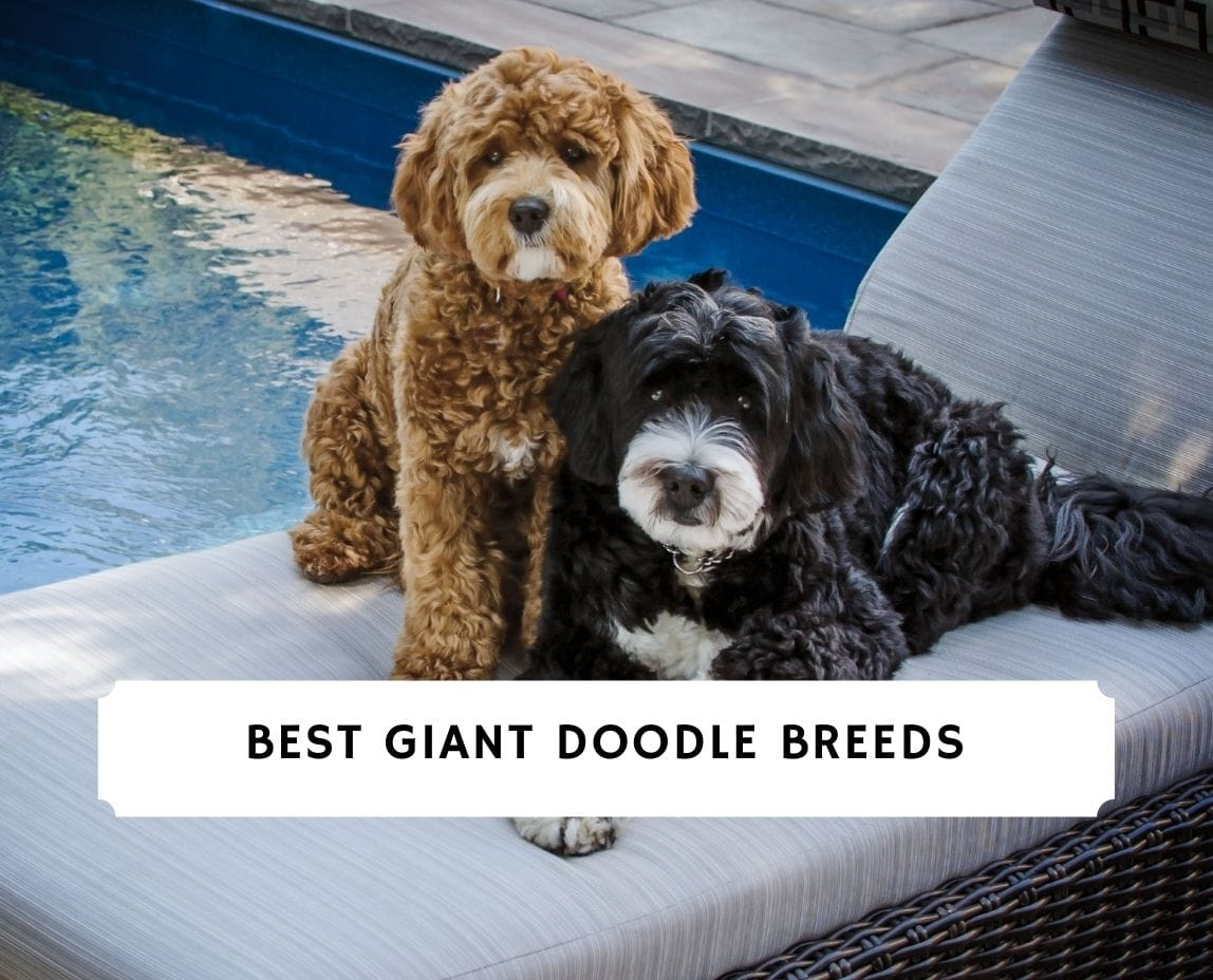 Giant Doodle Breeds