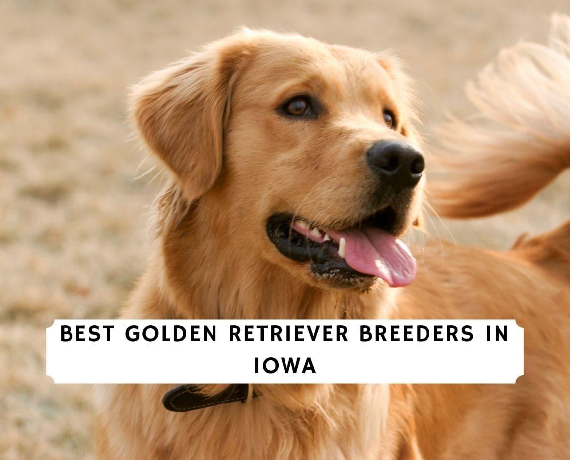 Golden Retriever Breeders in Iowa