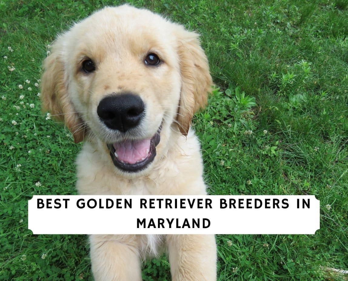 Golden Retriever Breeders in Maryland