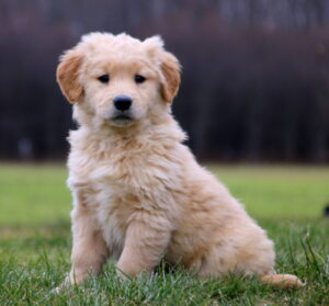 Conclusion For The Best Golden Retriever Breeders in Maryland