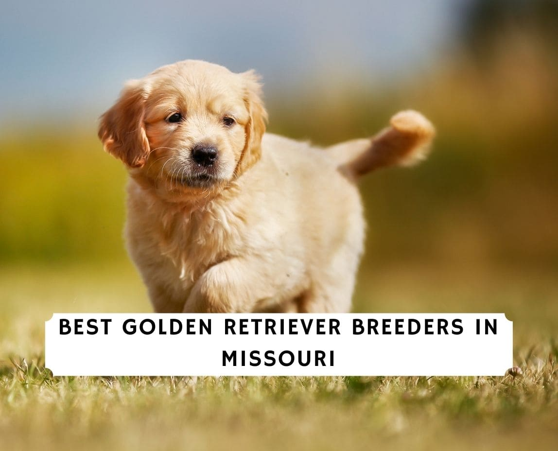 Golden Retriever Breeders in Missouri