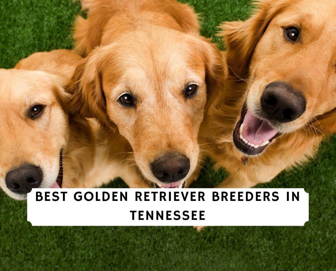 Golden Retriever Breeders in Tennessee