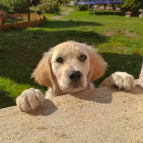 Golden Retriever Puppies For Sale in Tennessee