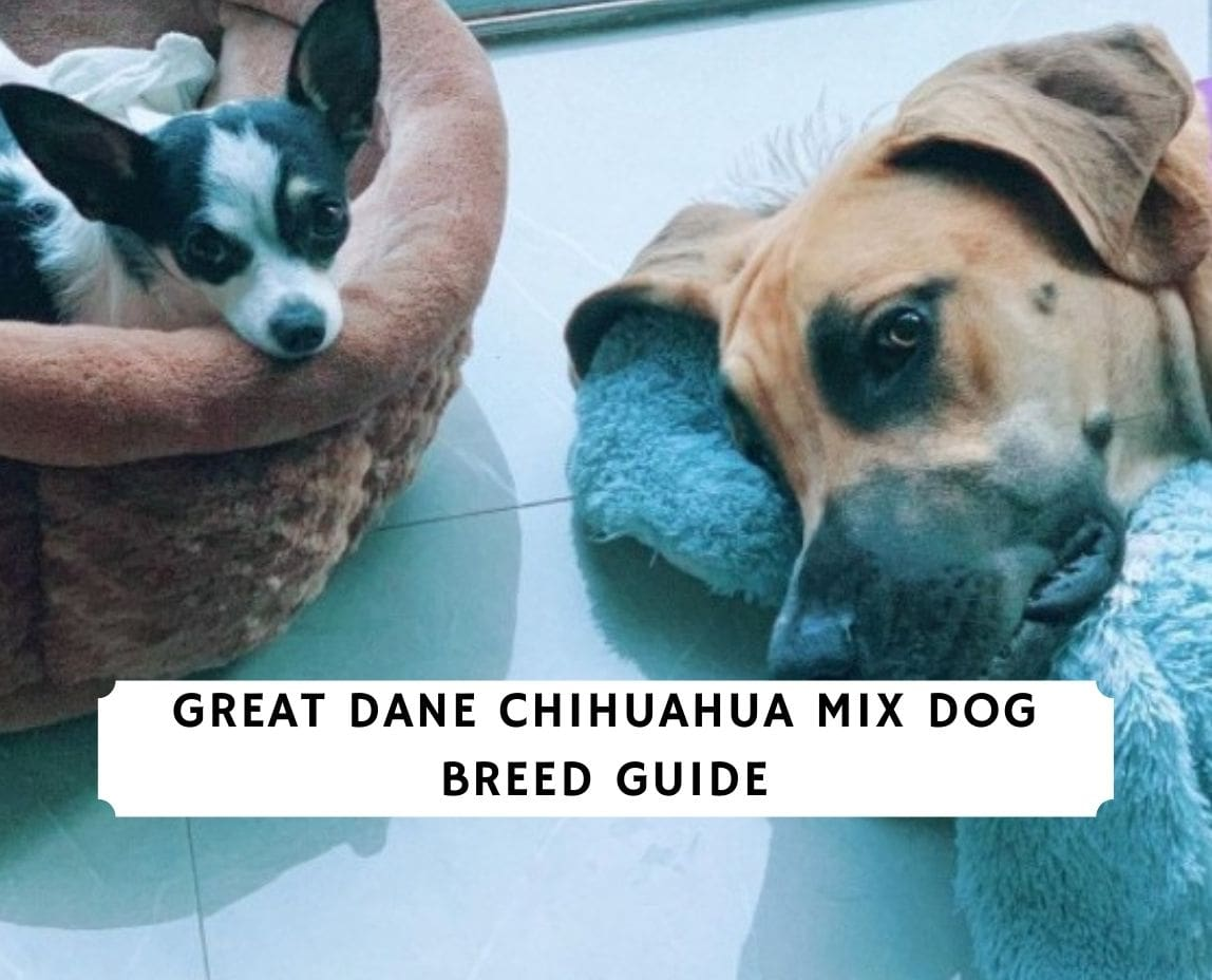 Great Dane Chihuahua