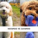 Havapoo vs Cavapoo
