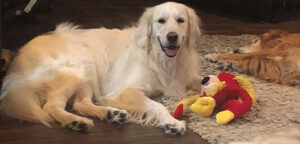 Healing Hearts Therapy Goldens