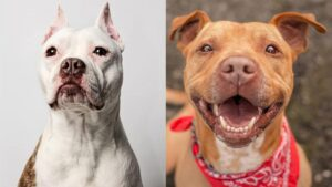 Health Problems of the American Bulldog and American Pitbull Terrier