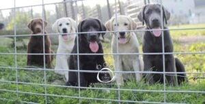 Hoof-n-Paw English Labrador Retrievers