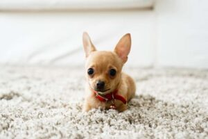 How Can I Stop My Chihuahua from Shaking?