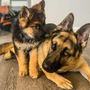 How Does Purpose Influence How Much a German Shepherd Cost