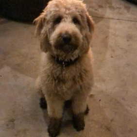 How Long Does It Take to Potty Train a Labradoodle Puppy