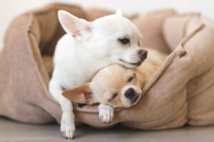 How Many Puppies Can a Chihuahua Have?