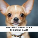 How Many Puppies Can a Chihuahua Have