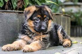 How Much Will Getting a German Shepherd Puppy Cost Me?