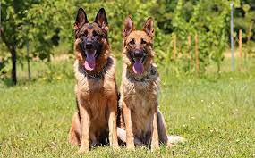 Conclusion For How Much is a German Shepherd