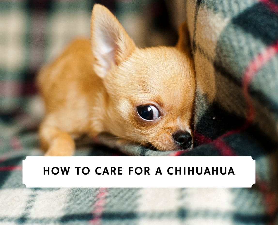 How to Care For a Chihuahua