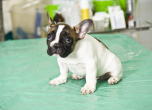 Ways To Cure Parvo Without a Vet