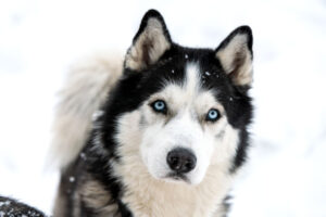 How to Improve Your Husky's Health