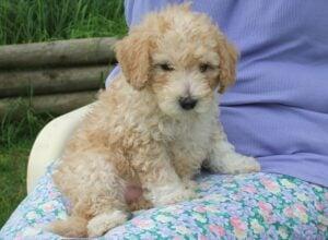 Ways To Potty Train a Labradoodle Puppy