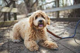 Conclusion For How To Potty Train a Labradoodle Puppy