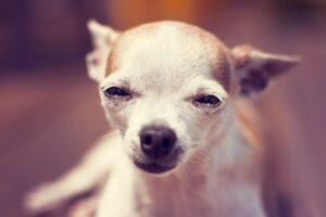 How to Stop Your Chihuahua From Crying