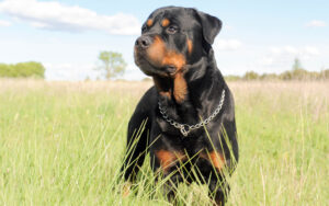 How to Tell What Kind of Growl Your Rottweiler Gives