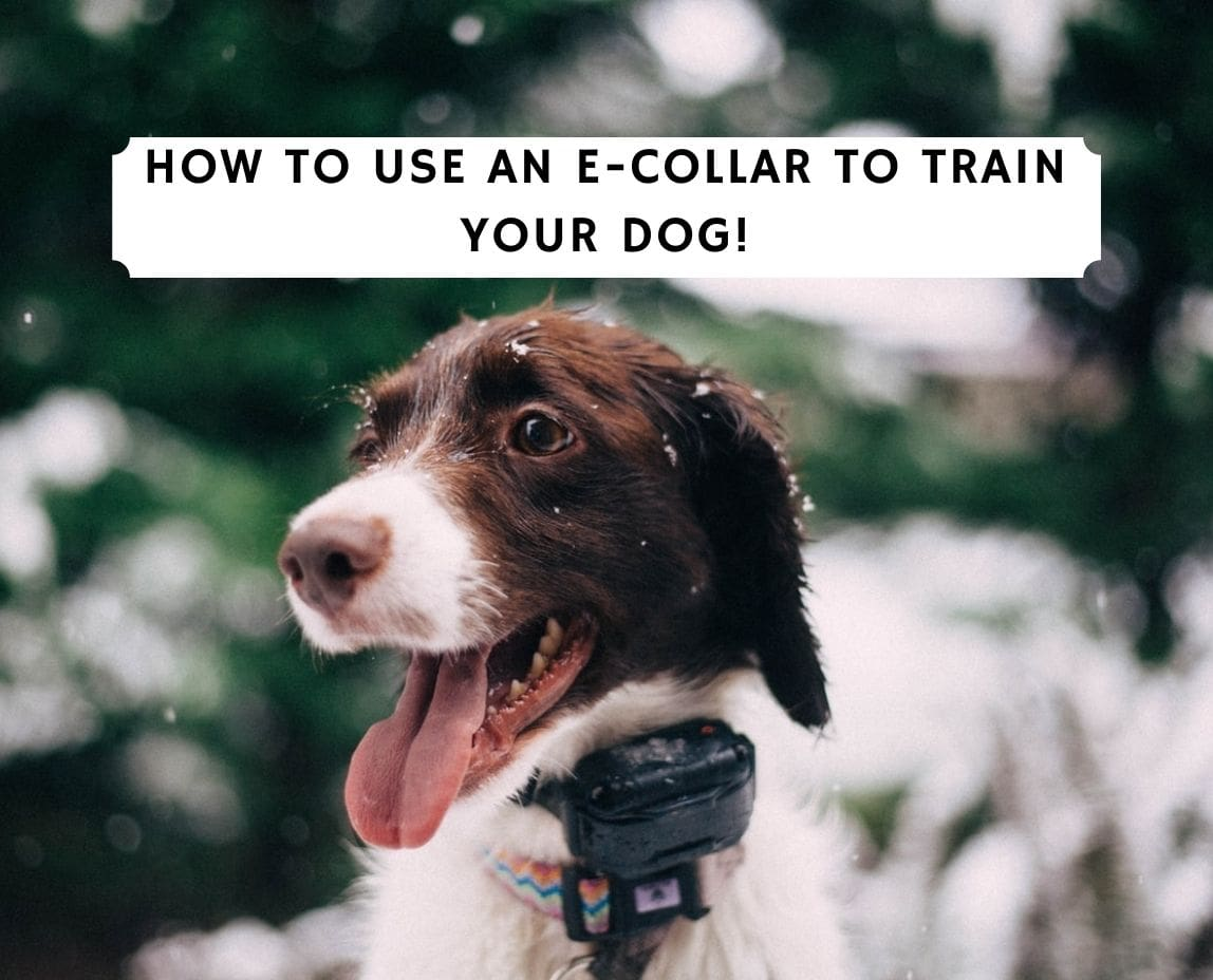 How to Use an E-Collar to Train Your Dog!