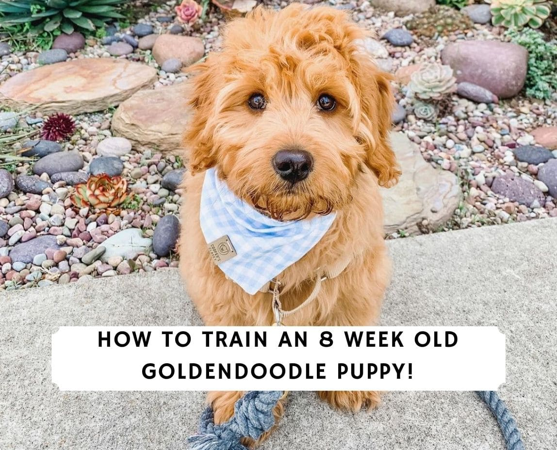 How to train an 8 week old Goldendoodle Puppy