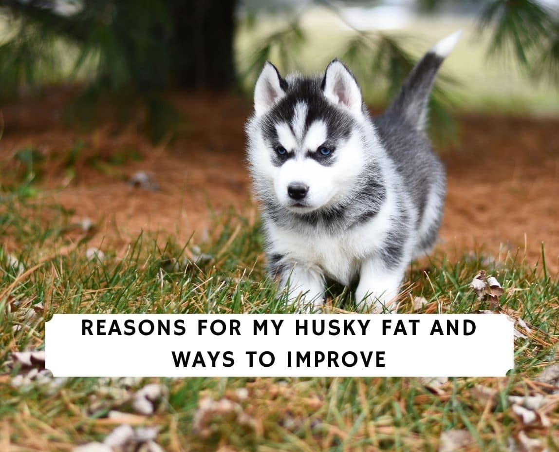 Husky Fat
