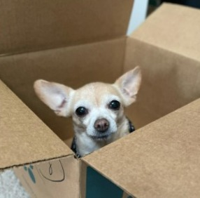 Identify the Reason Your Chihuahua is Crying