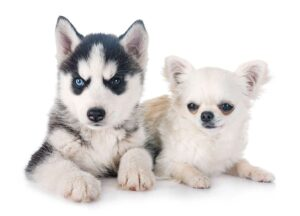 Is a Chihuahua-Husky Mix Right For You?