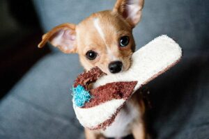 Keep Your Chihuahua Active