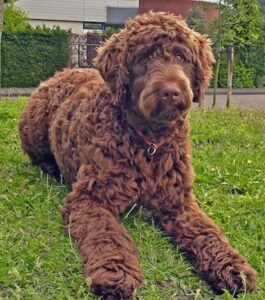 WHAT IS THE LARGEST DOODLE BREED?