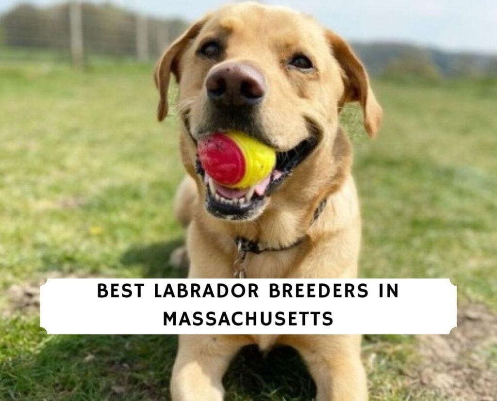 Labrador Breeders in Massachusetts