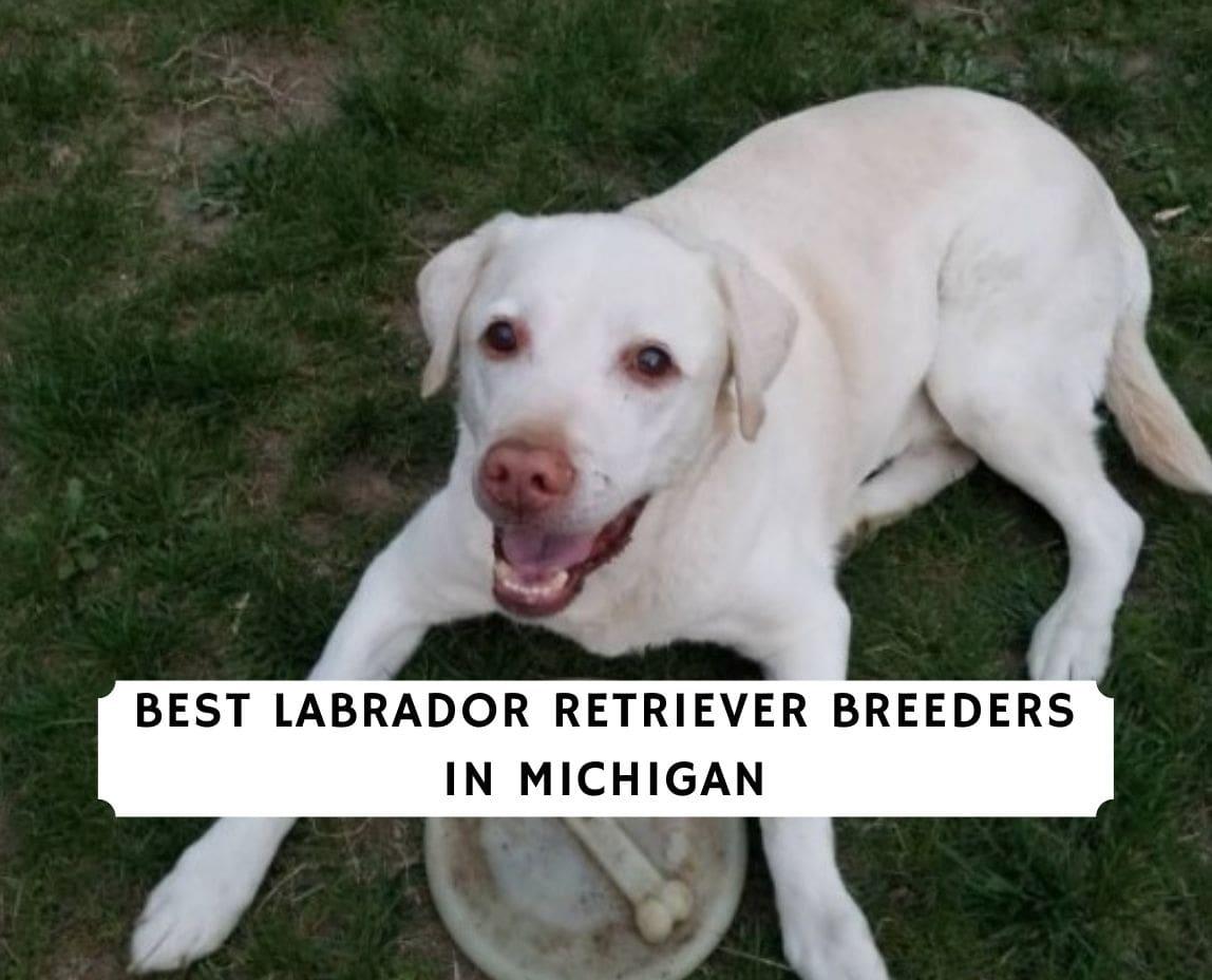 Labrador Retriever Breeders in Michigan