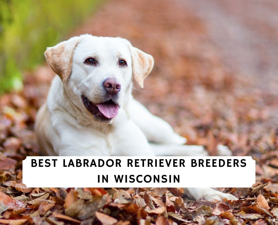 Labrador Retriever Breeders in Wisconsin