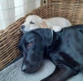 Labrador Retriever Puppies For Sale in Michigan