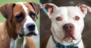 Life Expectancy of the pitbull vs bulldog