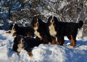 Magic Bernese Mtn. Dogs