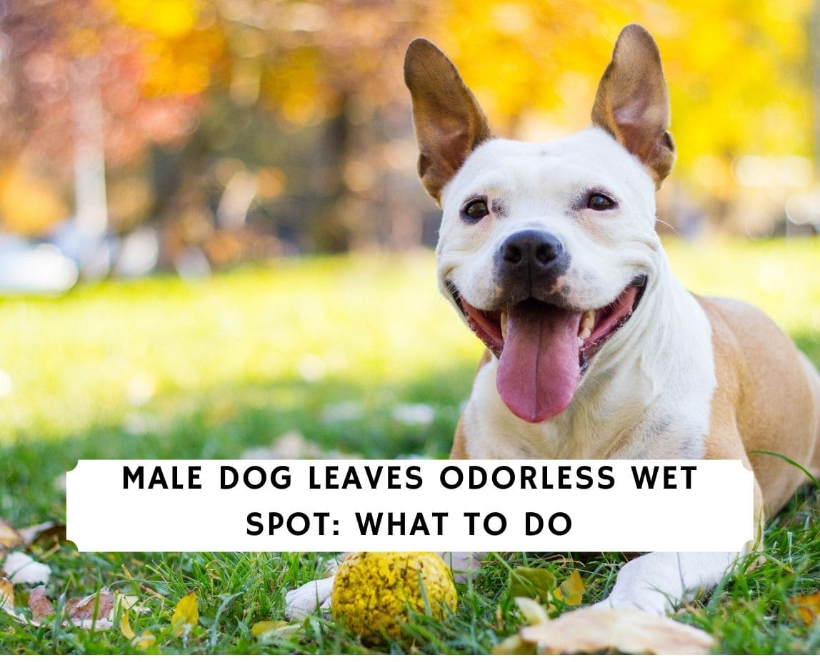 Male Dog Leaves Odorless Wet Spot