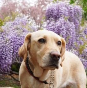 Mello Labradors